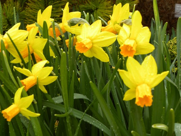 >Daffodils Fri April 29