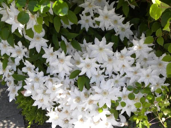 what 39 s in bloom june 1 7 toronto botanical. Black Bedroom Furniture Sets. Home Design Ideas