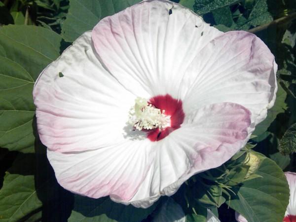 Hibiscus moscheutos 'Splash Pinot Grigio'