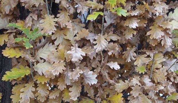 Pyramidal oak