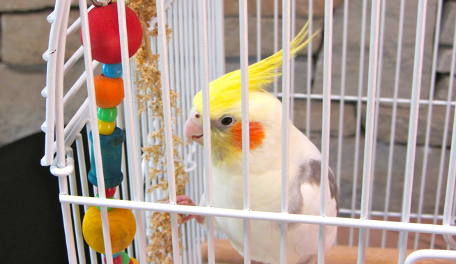 ginger the cockatiel