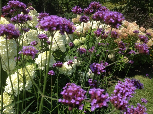 Verbena bonariensis with a border of Hydrangea