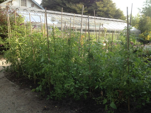 Staked grafted tomatoes