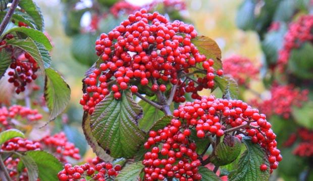 viburnum Cardinal Candy