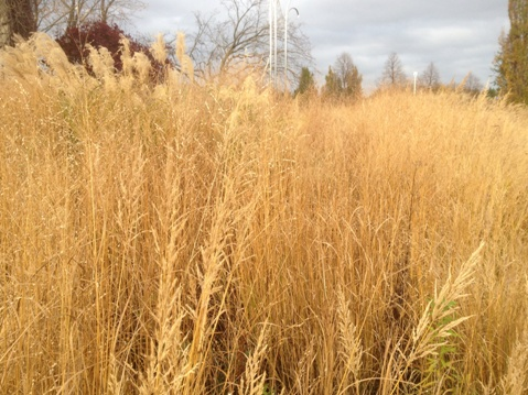 Entry Garden ornamental grasses November 6,2012