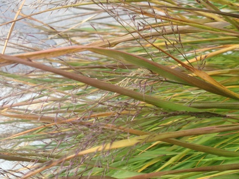 Hakonechloa macra (Japanese forest grass) November 6, 2012