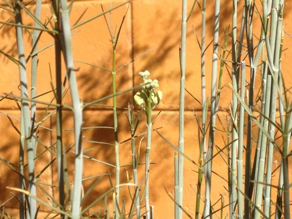 Asclepias subulata (Desert milkweed)