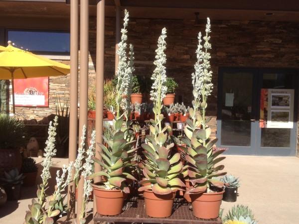 Kalanchoe thyrsiflora (Kalanchoe, Paddle plant, Flapjacks)