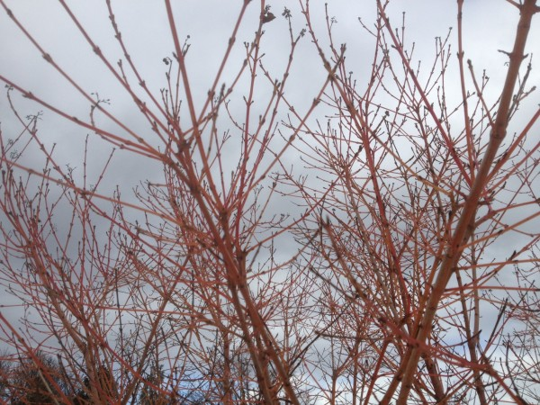 Cornus sanguinea 'Winter Beauty' February 2013