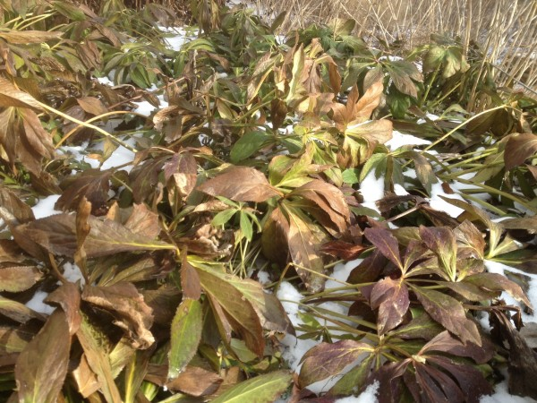 Helleborus x hybridus 'Blue Lady' spent foliage Feb 1,2012