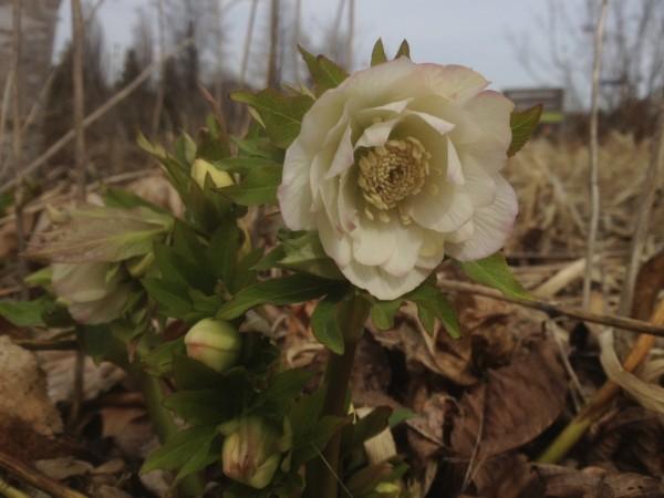 Helleborus x hybridus 'Double White' April 9,2013