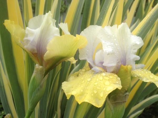 Iris germanica 'Double Your Fun' with Iris pallida 'Aureo Variegata'