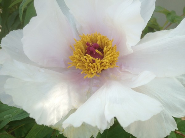 Paeonia ostii 'Feng Dan Bai' Way Finding Bed
