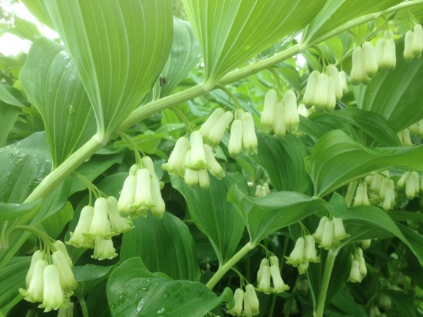 Polygonatum x hybridum 'Weihenstephan' in the Demonstration Garden