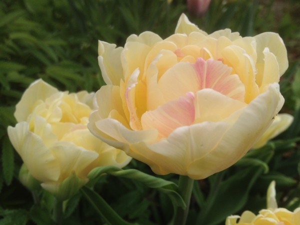 Tulipa 'Charming Lady'