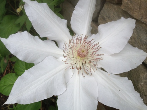 Clematis 'Hyde Hall'