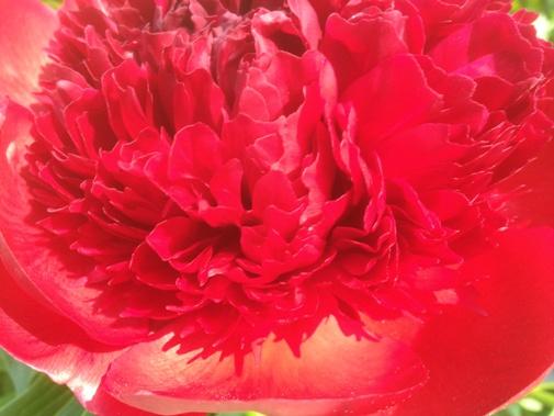 Paeonia lactiflora 'Red Charm'