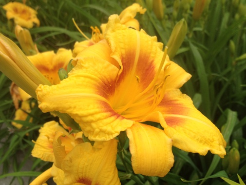 Hemerocallis 'Black-Eyed Susan'