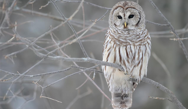 Barred_Owl_620x359