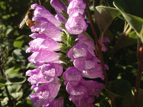 Physostegia virginiana 'Pink Bouquet'