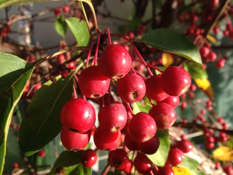 Malus 'Donald Wyman' berries