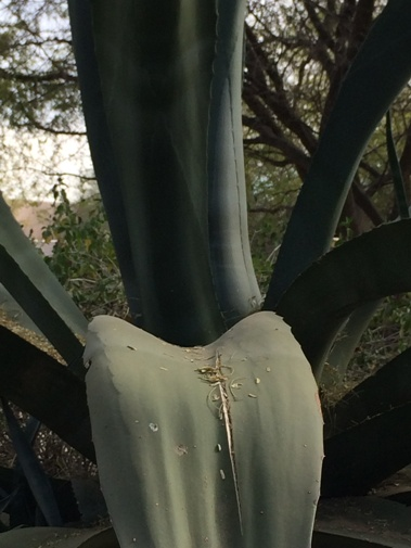 Agave salmiana close-up