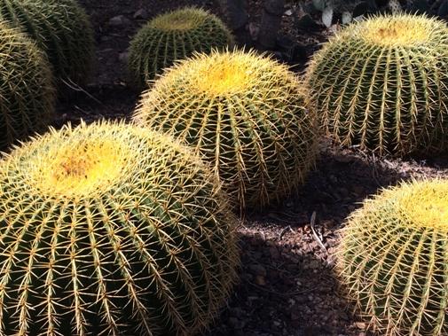 Echinocactus grusonii Endangered