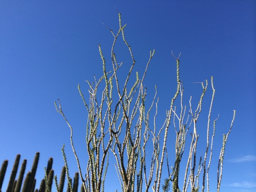 Ocotillo Reaching for that Blue Sky