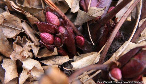Helleborus x ericsmithii 'Piroutte'