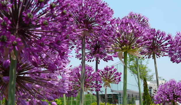 allium with building