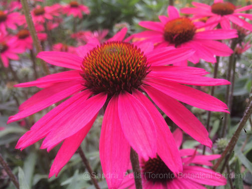 Echinacea 'Glowing Dream' (Dream Series)
