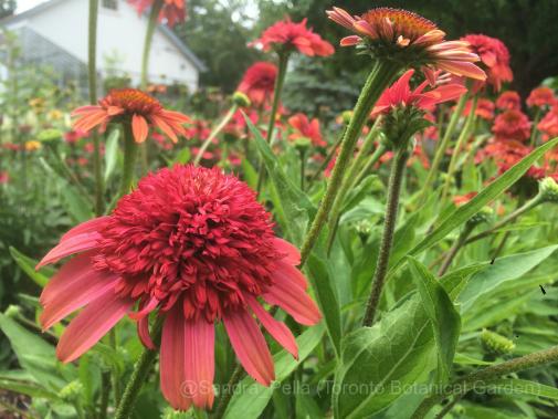 Echinacea 'Meteor Red' (Meteor Series)