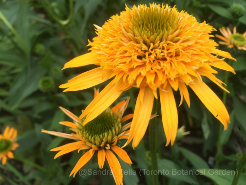 Echinacea 'Secret Glow' (Secret Series)