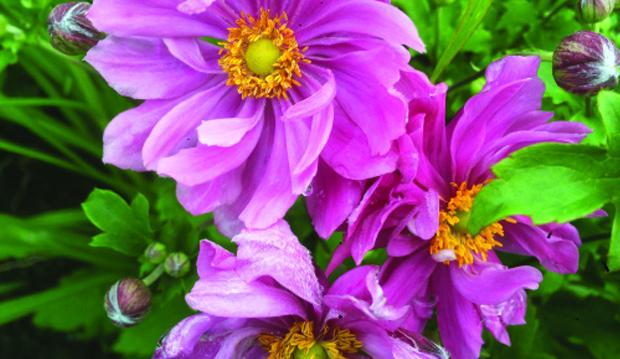 Anemone-pretty lady emily