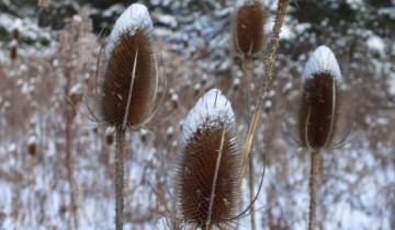 winter_teasel_2