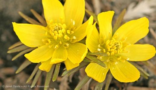 Eranthis hyemalis, spring