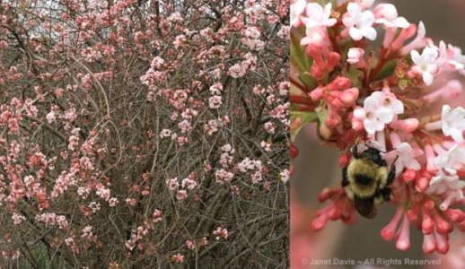 viburnum, spring