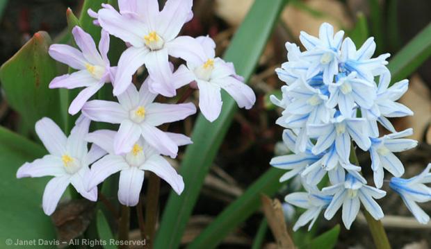 Chionodoxa-&-Puschkini, spring