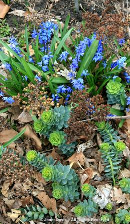 Scilla-&-Euphorbia, spring