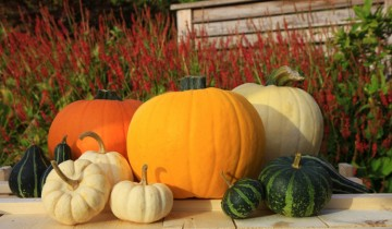 pumpkins for harvest day