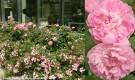 074c-Garden-Hall-Rose-Bed-2
