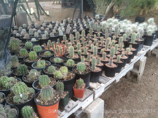 Cactus bench real gems Arizona Cactus Sales