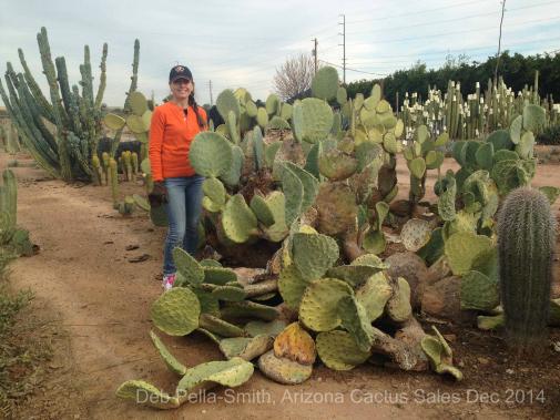 Sand with Opuntia robusta AZ Cactus Sales
