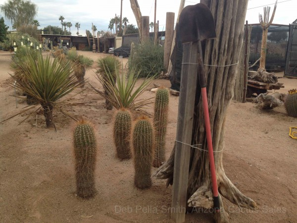 Shovel with Saguaro Arizona Cactus Sales
