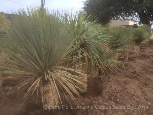 Yucca rostrata AZ Cactus Sales