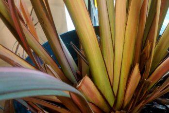 Phormium showing equitant leaf arrangement