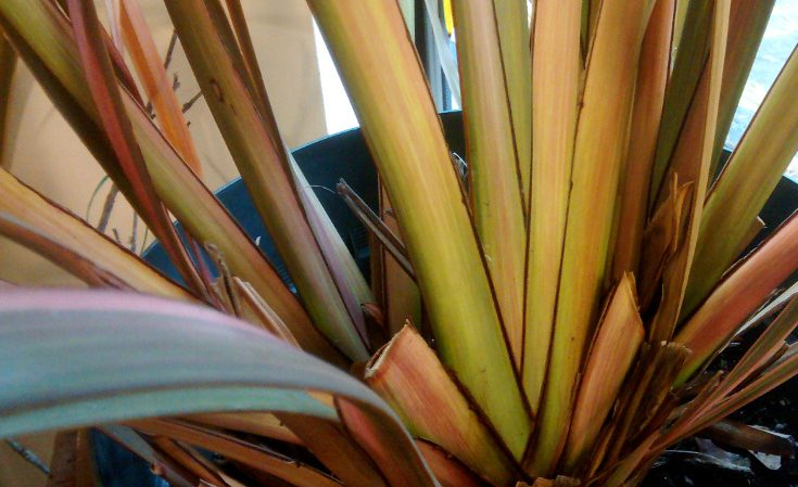 Phormium showing equitant leaf arrangement
