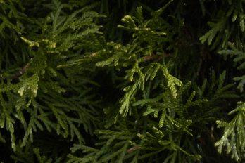 Close up of Thuja (arborvitae) leaves.