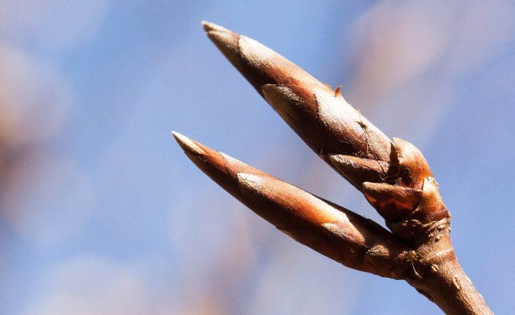 Beech buds showing perules