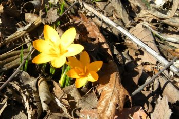 Yellow crocus blooming